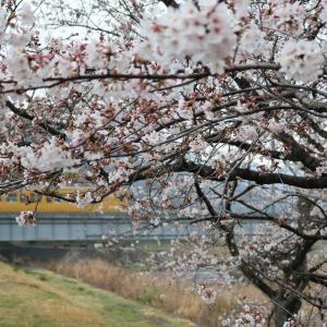 おはようございます☺️イエロー電車&桜🌸