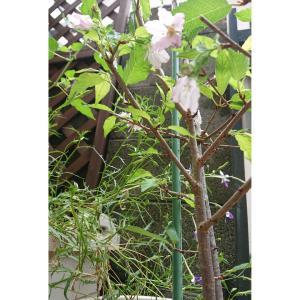 季節はずれの桜が咲きました♡レポしないまま無くなったコストコ品(--;)