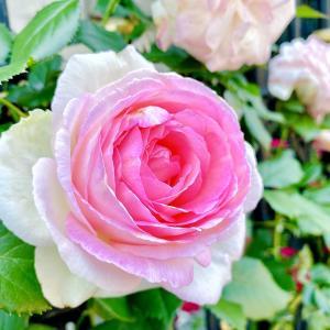 たまには華麗なる薔薇の写真で癒されませんか
