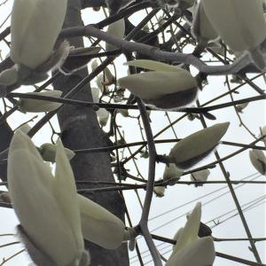 ダイナミック!でも繊細で美しい「木蓮」の花が満開です。