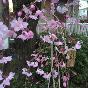 桜満開。昨日は地元の小学校の入学式でした。ピカピカの一年生と桜、見ているだけでも幸せです。