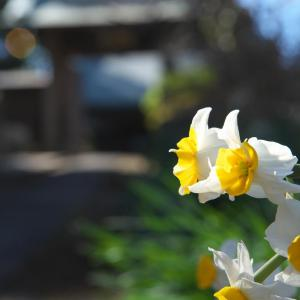 阿弥陀寺の水仙