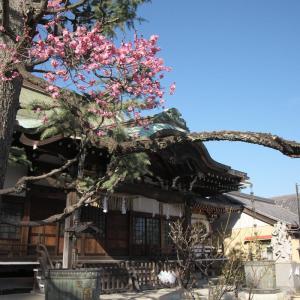 妙法寺の紅梅
