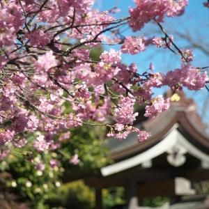 二伝寺の桜