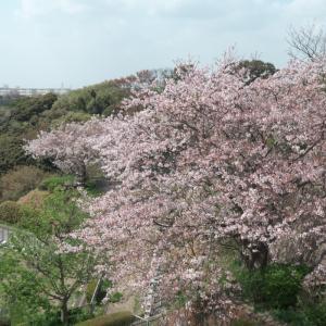 日野公園墓地の桜