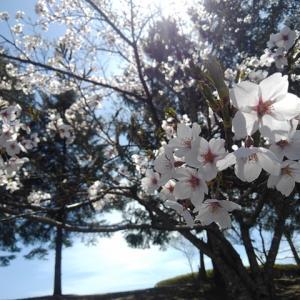 年明け間近なのであえて桜の写真をアップしよう!