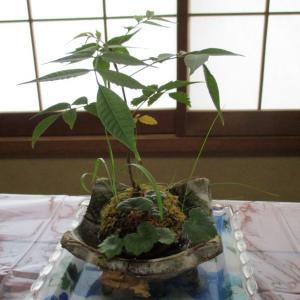 「こけ玉」と「金のなる木」