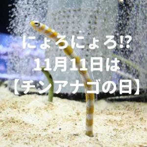 【チンアナゴの日】すみだ水族館はチンアナゴ三昧【ニシキアナゴ 11月11日】