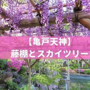 【亀戸天神☆藤祭り】満開の藤棚とスカイツリー【開花状況2021】