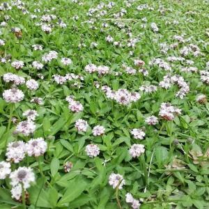 ヒメイワダレソウの花のじゅうたん