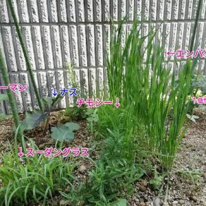 今年のモルモット用食材畑