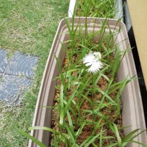 【サギソウ】今年の1番花が咲きました
