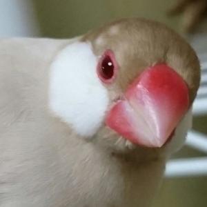 新着研究「文鳥が噛んでくる理由を知ろう」