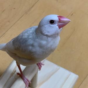 新着研究「文鳥の11の鳴き声から気持ちを知ろう!コミュニケーションを楽しもう!」