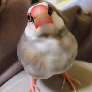 新着研究「文鳥の歌声 構造と周波数」
