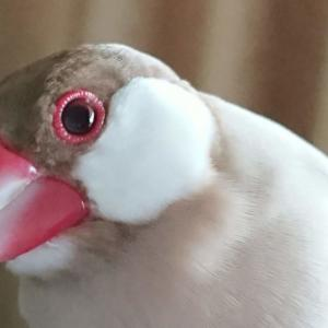 新着研究「文鳥と気管炎・鳴管炎」
