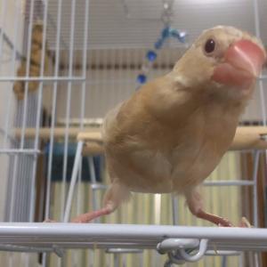 新着研究「文鳥の基本的なケージレイアウト」