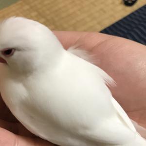 新着研究「文鳥と産褥テタニー・産褥麻痺」