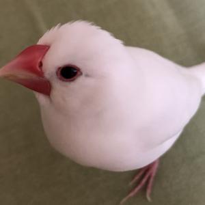 新着研究「文鳥の主食となるエサの基礎」
