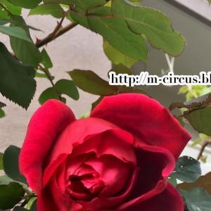 5月になっちゃった...と、バラのおはなし。