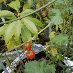 もうすぐ12月なのにミニトマトがようやくできた笑笑 わたしも忘れていた 超ズボラ家庭菜園 完結編