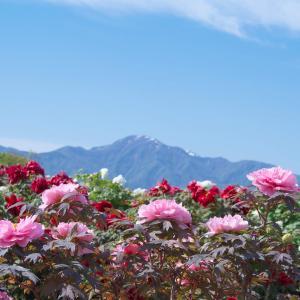 新潟県五泉市のぼたん園(ぼたん百種展示園)!シャクヤクの見頃も確認しておきましょう