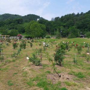 新潟市岩室温泉の端にあるお杉ばら園!開花の見頃は6月上旬から