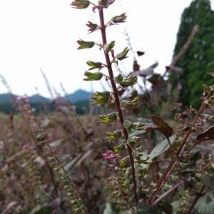 赤紫蘇の実収穫中#しそ #シソ #紫蘇 #東北 #秋田県 #北秋田市