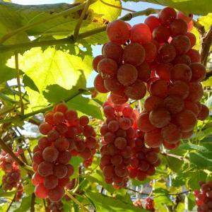 道の駅あににもブドウ出てます!売り切れていたら、ごめんなさい!#秋の味覚 #果物 #フ...