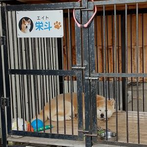 ここにも秋田犬#東北 #秋田県 #大館市 #ロイヤルホテル大館 #秋田犬 #看板犬