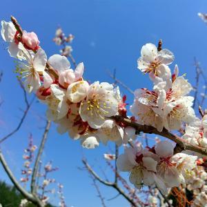 梅と蒲公英#自然 #植物 #花 #うめ #たんぽぽ #東北 #秋田県 #北秋田市 #阿仁