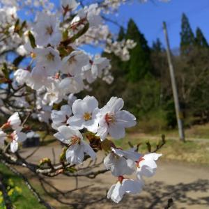 吉田堤(吉田農村公園)の桜#自然 #植物 #花 #さくら #cherryblossom ...