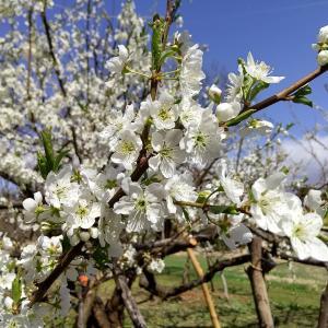 スモモの花#植物 #果樹 #花 #すもも #東北 #秋田県 #北秋田市 #阿仁