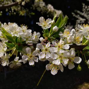 プルーンの花#植物 #果樹 #花 #プルーン #東北 #秋田県 #北秋田市 #阿仁