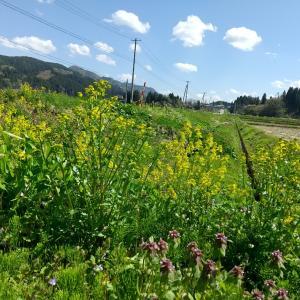 道端の黄色#自然 #植物 #花 #菜の花 #東北 #秋田県 #北秋田市 #阿仁