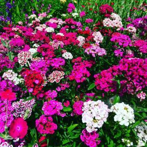 庭が花だらけ#自然 #植物 #花 #東北 #秋田県 #北秋田市 #阿仁