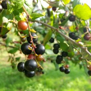 コハゼ(ナツハゼ)の実#自然 #植物 #果実 #こはぜ #なつはぜ #アントシアニン #...