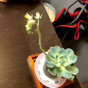 多肉植物に花が咲く