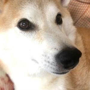 こしきぃねーちゃの家の犬(柴犬)