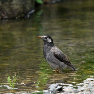 【複製】趣味の野鳥観察(ムクドリの水浴び)