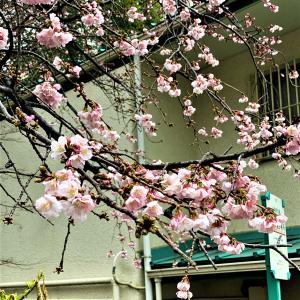 上野公園では、桜が咲いていた。