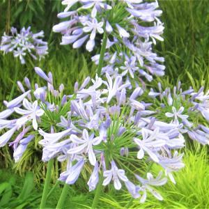 夏に咲く紫系の花