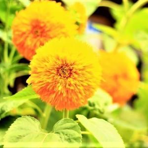 珍しい向日葵の種類