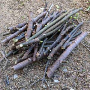 挿し木に使うイチジクの剪定枝/挿し穂の保管方法と手順(無花果/いちじく/挿し木)
