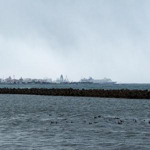 雪降る青森港(ベイエリア)で鳥撮り / 今冬初のコクガンとハジロカイツブリ