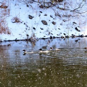 雪降る野木和公園で鳥撮り / 湖面を漂う野鳥はカワアイサ(河秋沙)