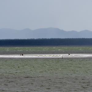 週末は三週連続で「津軽の湖」へ / ターゲットはもちろんオオワシ&オジロワシ
