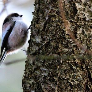 金曜日の野木和公園 / カラ類(エナガなど)の群れに交じりアカゲラ