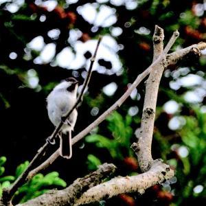 鳥影薄く夏枯れ模様 / コガラ、キセキレイ、クセキレイ