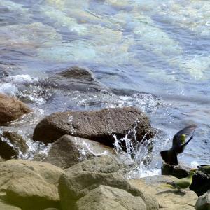 通い詰めてやっと撮れました / 外ヶ浜の海岸でアオバトが海水を飲む